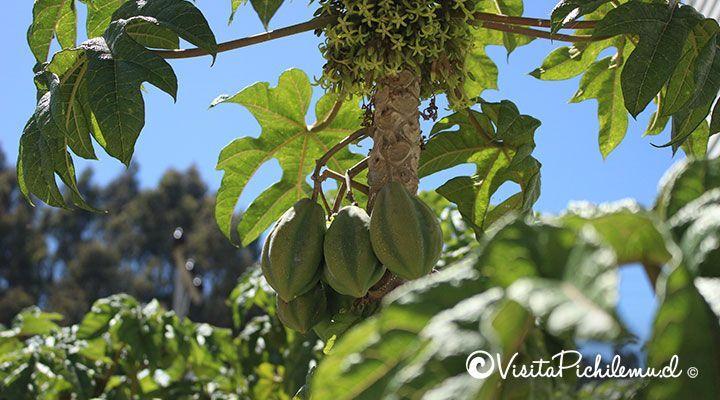 papayas cabanas las salinas cahuil