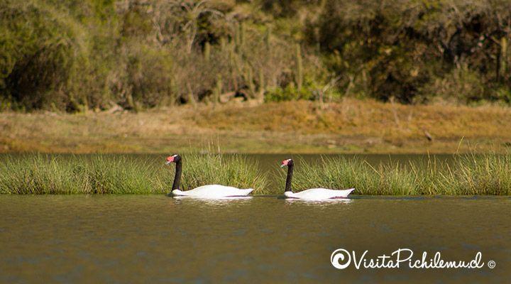 watching black-necked swans pichilemu