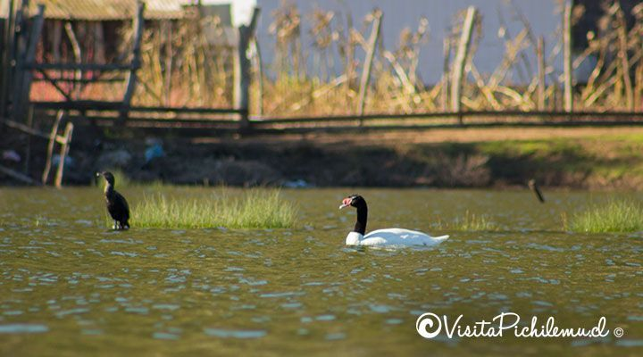 black-necked swan and duck yeco Cahuil