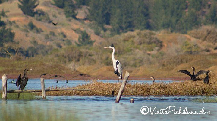 cuca heron bird watching kayak tours Cahuil