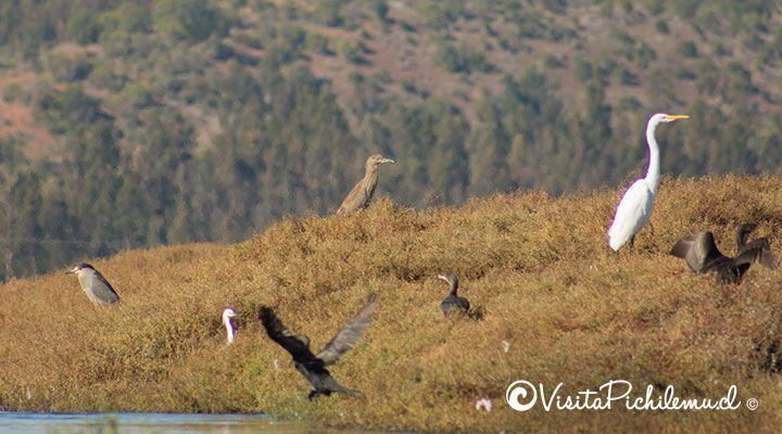 cuca heron and great egret wetland Cahuil pichilemu