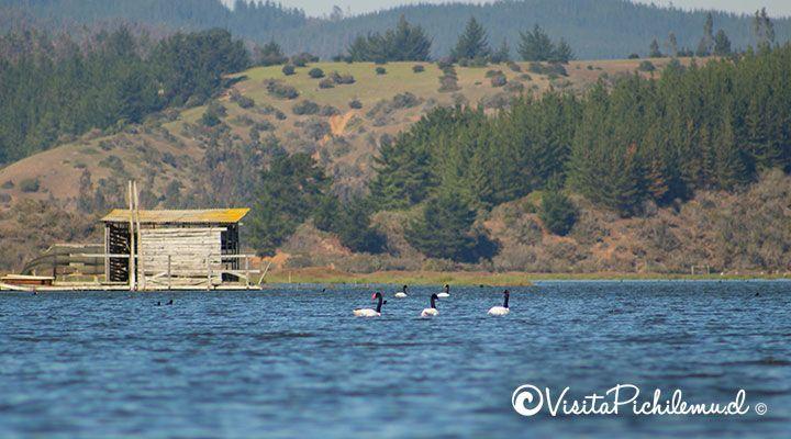 black-necked swans kayaking Salinas de Cahuil