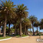 palmeras fenix, parque ross, pichilemu