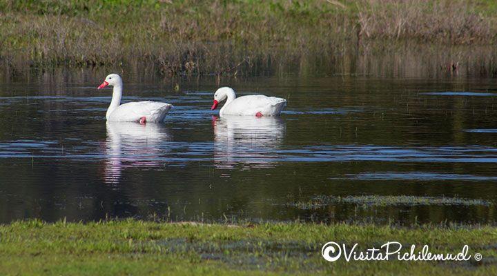Swans coscoroba Cahuil, pichilemu, chile