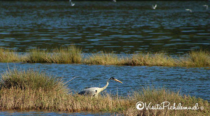 cuca heron lagoon Cahuil, pichilemu, chile