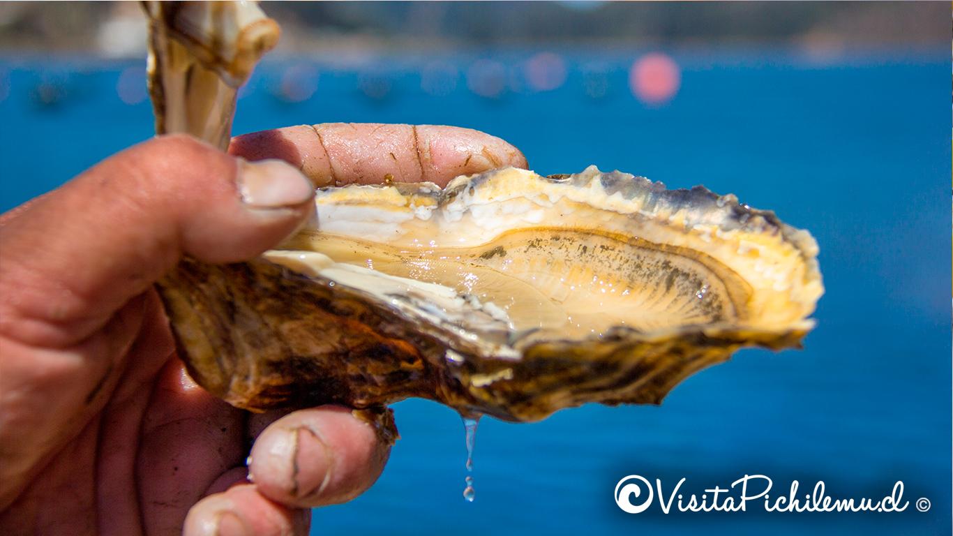 cultivo de ostras laguna de cahuil